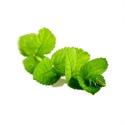 doTERRA Pure Essential Oil - Peppermint Mentha piperita